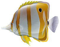 A big fish. On a white background Royalty Free Stock Image