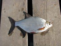 Big fish on a wood. Big fresh fish on a wood background royalty free stock image