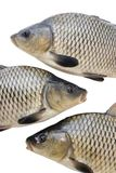 Big fishes Royalty Free Stock Images