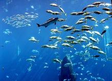 Big Fishes. A lone big shark and big fishes inside a big public aquarium Royalty Free Stock Photography