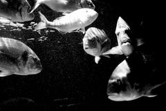 Big fishes 2. Big fishes swiming in a dark cold water Royalty Free Stock Photography
