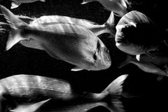 Big fishes. Swiming in a dark cold water Royalty Free Stock Image