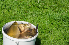 Big fishing catch in bucket water on meadow Stock Images