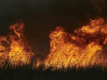 Big flames on field during fire. Dried reed burning Stock Images