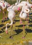 Big flamingo family with 2 birds balancing on one leg in the front. A big flamingo family with 2 birds balancing on one leg in the front royalty free stock photography
