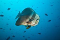 Big flat fish floating in deep blue ocean Royalty Free Stock Photos