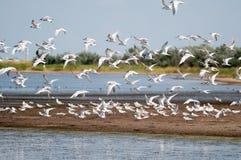 The big flight of a lake seagull. The flight of a lake seagull is photographed on shallow estuary (lake) at coast of sea of Azov. Russia, Krasnodar territory Stock Image
