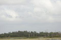 Big flock of glossy ibises soaring over Orlando Wetlands Park. Royalty Free Stock Image