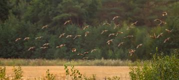 Large pack of Grey Partridges flying over a yellow summer field in the evening royalty free stock photography