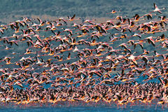 Big flock pink flamingos flies over the lake Stock Photography