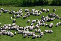 Big flock of sheep on the sunny meadow, aerial take. The flock of sheep on the meadow, aerial view on the flock of sheep, long hair sheep royalty free stock photography