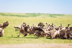 Big flock of white-backed vultures at savannah Royalty Free Stock Photo