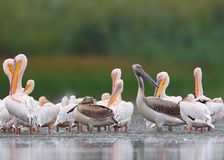 Big flock of white pelicans from Danube delta. royalty free stock images
