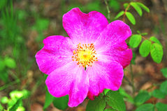 Big flower. Big pink flower on the forests Stock Photo