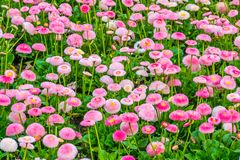 Big flower field of Bellis perennis Pomponnete, cultivated hybrid specie of the english daisy flower, Nature background, colorful. A big flower field of Bellis stock photo