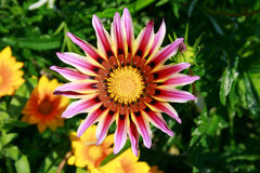 Big flower with long purple petals. Near some yellow smaller flowers stock image