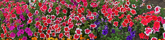 Big flower panorama. Large-format panorama of flowers Stock Photography