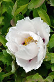 Big flower of white peony Royalty Free Stock Photography