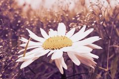 Big flower with a yellow disk and white rays. Romantic wild field with small white flowers in the background and a daisy in the foreground stock photography