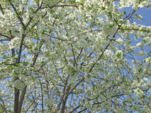 Big flowering cherry tree. With the sky Royalty Free Stock Images