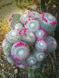 Big flowering old lady cactus, mamillaria crown of pink tiny flowers stock photos