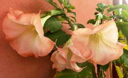Big flowers of Brugmansia - Angel trumpets royalty free stock photography