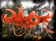 The big flowers of red lilies royalty free stock photography