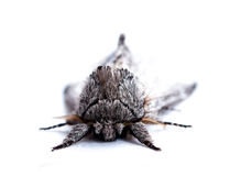 Big fluffy butterfly, moth closeup on white background Stock Photo