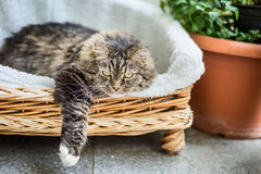 Big fluffy cat lying in wicker chaise sofa couch on balcony or garden terrace. With flowers pot royalty free stock images