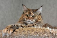 Big fluffy cat Maine Coon lies high on the shelf and looks down royalty free stock photo