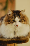 Big fluffy cat resting Royalty Free Stock Images