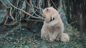 Big fluffy cat stock video