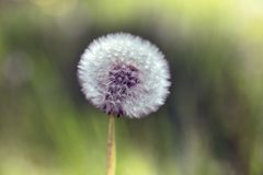 Big fluffy dandelion Stock Photo