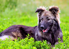 Big fluffy dog playing in the grass Stock Photo
