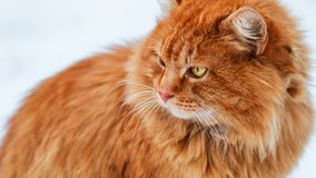 Big fluffy ginger cat sitting in the snow, stray animals in winter, homeless frozen cat. Cat looks away Stock Images