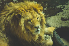 Big fluffy lion lying down Royalty Free Stock Photo