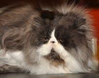 Big fluffy Persian cat Royalty Free Stock Photo