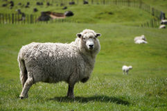 Big fluffy sheep or lamb grazing green fields. Of New Zealand while looking into the camera Stock Image