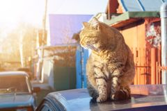 Tabby cat. A big fluffy tabby cat sits on the roof of a car on a sunny aun day royalty free stock photography