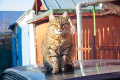 Tabby cat. A big fluffy tabby cat sits on the roof of a car on a sunny autumn day stock image