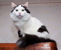 Big, fluffy white cat with black spots sitting Stock Images