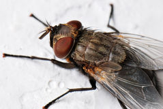 Big Fly. A macro photo taken off a housefly at a park Stock Images