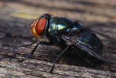 Big Fly Royalty Free Stock Photography