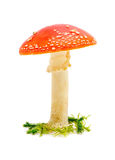 Big fly agaric Stock Image