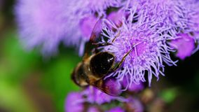 Big Fly on the Ageratum houstonianum stock video