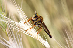 Big Fly. Bug On A Foxtail Grass Macro Shot Stock Photos