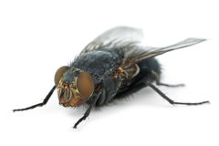 Big fly (Calliphora vicina) Royalty Free Stock Photography