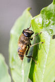 Big fly close up Stock Image