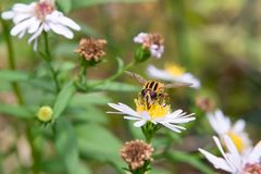 Large striped fly on a flower. A big fly collects nectar from chamomile flowers stock photo