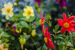 Big fly collects sweet nectar. Of flowers Royalty Free Stock Photo